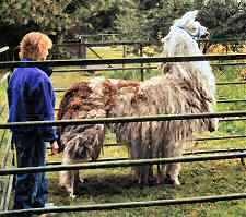 To move your llama forward, move to their rear and stand diagonally out from the hip.