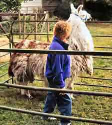 To have your llama stop, move forward to that small space between the withers and the eye. This position halts the action for a brief moment.