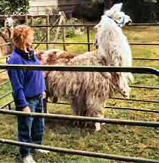 As your llama stops, immediately drop back a step or two to position yourself just behind the withers.