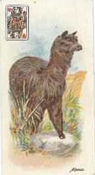 Alpaca Cigarette Playing Card